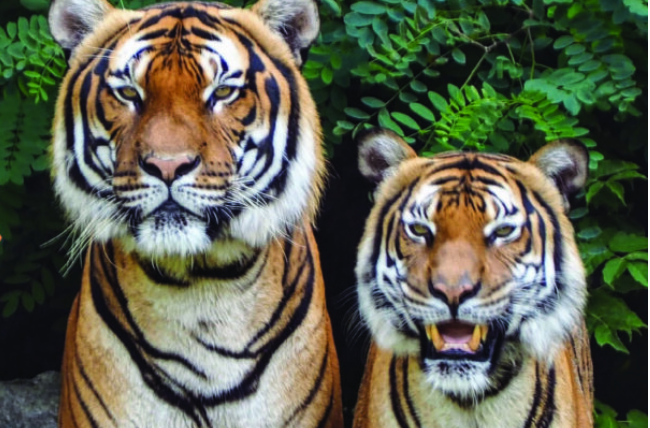 Two tigers standing side-by-side.